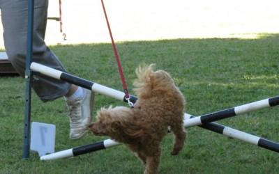 poodle agility